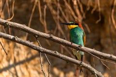 Exotic bird European bee-eater or Merops apiaster stock photography