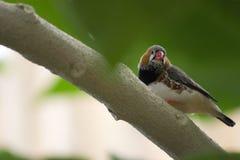 Exotic bird Gouldian Finche Stock Image