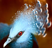 Exotic Bird (Goura Victoria) Royalty Free Stock Photos