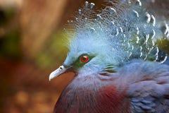 Exotic Bird (Goura Victoria) Stock Image