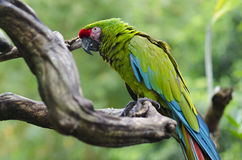 Exotic bird. Green parrot sit on a branch tree. Wildlife Bali, I Stock Image