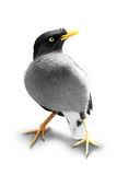 Exotic bird isolated in white background. A portrait of exotic bird isolated in white background stock photography