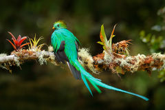 Exotic bird with long tail. Resplendent Quetzal, Pharomachrus mocinno, magnificent sacred green bird from Savegre in Costa Rica. R. Exotic bird with long tail royalty free stock photography