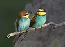 Exotic bird love. Beautiful European bee-eater couple in loving Stock Photo