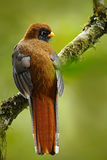 Exotic bird from mountain tropic forest in Ecuador. Masked Trogon, Trogon personatus, red and brown bird in the nature habitat, Be Royalty Free Stock Photography