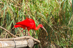 Exotic bird - Scarlet Ibis Stock Photo
