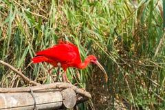 Exotic bird - Scarlet Ibis Stock Photo