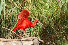 Exotic bird - Scarlet Ibis Royalty Free Stock Image