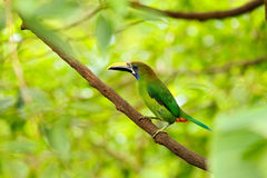 Exotic bird, tropic forest. Small toucan. Blue-throated Toucanet, Aulacorhynchus prasinus, green toucan bird in the nature habitat Stock Photos