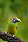 Exotic bird, tropic forest. Small toucan. Blue-throated Toucanet, Aulacorhynchus prasinus, green toucan bird in the nature habitat.  Stock Images