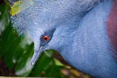 Exotic Bird Victoria Crown Pigeon. Exotic Blue Bird with a Red Eye called Victoria Crown Pigeon Royalty Free Stock Photo