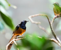 Exotic bird - white-rumped shama Stock Photo