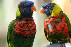 Exotic Birds. Two colorful exotic birds on a branch Stock Images