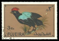 Exotic birds, Lance tailed Manakin. Fujairah - stamp printed 1972, Multicolor Memorable issue of offset printing, Topic Fauna, Series Exotic birds, Lance tailed Stock Image