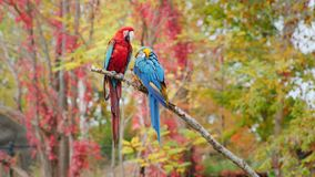 Exotic birds. Two bright parrots sit on a branch. Scarlet macaw. Two bright parrots sit on a branch. 4K video stock video footage