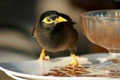 Exotic black bird to pick leftovers of ice cream. Exotic black bird on a plate to pick leftovers of ice cream Royalty Free Stock Image
