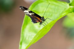 Exotic black butterfly on vivid green leaf. Macro horizontal portrait Stock Images