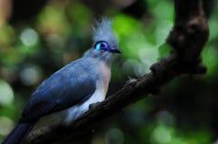 Exotic blue bird Stock Photo