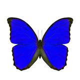 Exotic blue butterfly isolated on white background, the blue mor Stock Photography