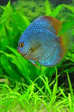 Exotic blue discus fish. Beautiful male discus fish inside a home aquarium with natural plants stock photos