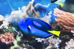Exotic brightly colored blue tang surgeonfish. Swimming in a saltwater aquarium with underwater sponges Stock Image