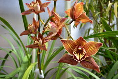 Exotic brown orchid blooms Royalty Free Stock Photo