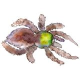 Exotic brown tarantula wild insect in a watercolor style isolated. For background, texture, wrapper pattern or tattoo. Exotic brown tarantula wild insect in a stock illustration