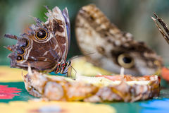 Exotic butterflies extreme macro shots in vibrant colors. Pale o Royalty Free Stock Photo