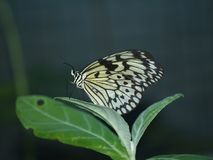 Exotic butterflies of Thailand, island Phuket 3 Royalty Free Stock Image