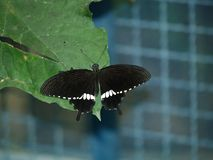 Exotic butterflies of Thailand, island Phuket 5 Royalty Free Stock Photography