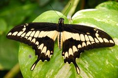 An exotic butterfly. An exotic butterfly resting on a leaf Stock Photo