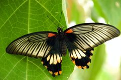 Exotic butterfly. An exotic butterfly on a green leaf with full wing span Royalty Free Stock Photo
