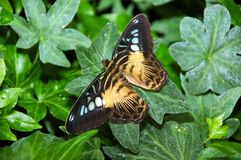 Exotic butterfly. An exotic butterfly on a leaf Stock Photos