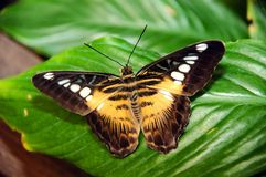 Exotic butterfly. An american species exotic butterfly Stock Images