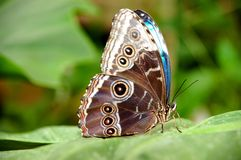 Exotic butterfly. An exotic butterfly, very colorful and ful of details Royalty Free Stock Image