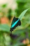 Exotic butterfly. A rare species exotic butterfly hanging on a leaf Stock Image