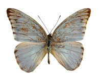 Exotic butterfly Royalty Free Stock Image