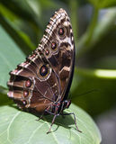 Exotic butterfly royalty free stock images