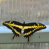 Exotic butterfly with bright yellow and black tail wings Royalty Free Stock Image
