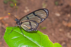 Black Cattleheart butterfly, amazon rainforest Stock Photography