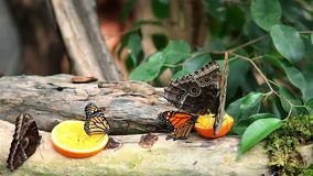 Exotic butterfly feeding on a slice of orange. Nice close shot of an exotic butterfly feeding on a slice of orange stock video