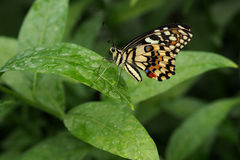 Exotic butterfly on green leaf Stock Photos