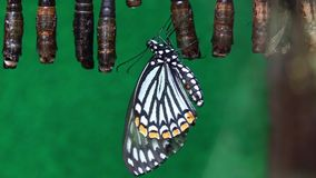 Exotic butterfly guard pupae