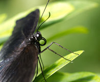Exotic butterfly on a leaf Stock Image