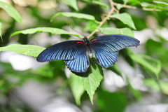 Exotic butterfly with metallic dark blue coloration Royalty Free Stock Images