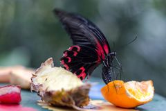 Exotic butterfly red and black eats fruits nectar. Macro vertical composition Royalty Free Stock Photos