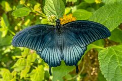 An exotic butterfly resting on a leaf.Close up.Detai. An exotic butterfly resting on a leaf.Detail stock photos