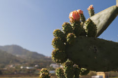 Exotic cactuses flowers. On tropical valley Stock Image