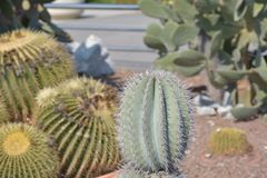 Exotic cactuses in seaside park, Baku Azerbaijan Royalty Free Stock Photos