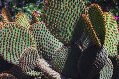 Exotic cactuses. Tropical exotic cactuses in botanic garden close up Stock Photos